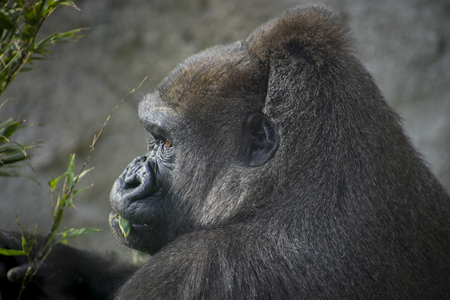 gorillas: huge and powerful gorilla, natural environment