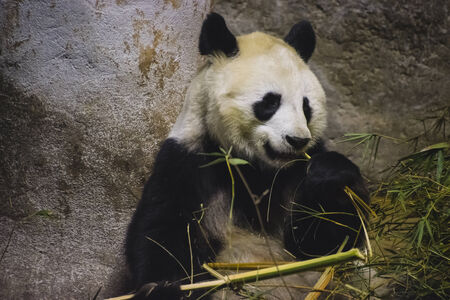 endanger: Panda bear eating bamboo
