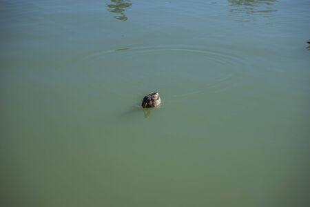 parque del buen retiro: Duck, Lake in Retiro park, Madrid Spain Stock Photo