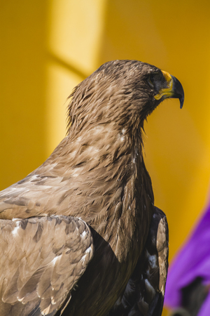yellow tailed: Medieval golden eagle, detail of head with large eyes, pointed beak