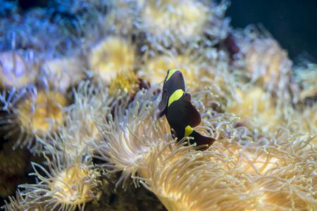 false percula: bunaken, clownfish in coral bank in the sea