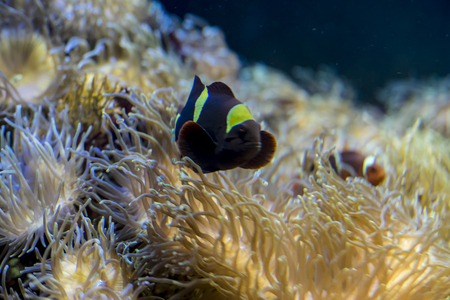clownfish: clownfish in coral bank in the sea Stock Photo