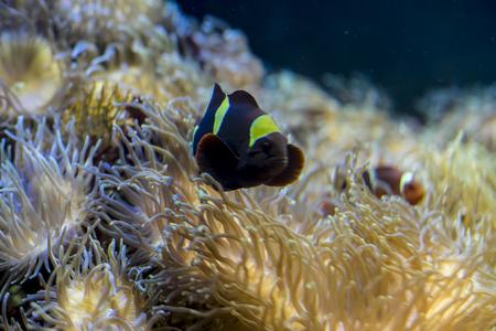 false percula clownfish: clownfish in coral bank in the sea Stock Photo