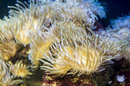 false percula clownfish: ocean, clownfish in coral bank in the sea Stock Photo