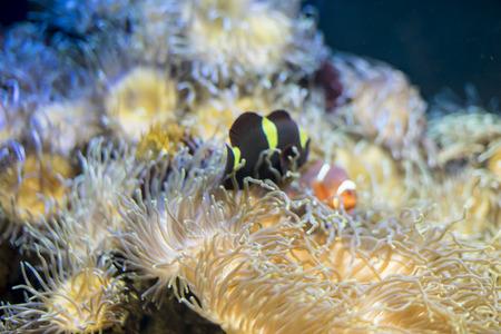 false percula clownfish: travel, clownfish in coral bank in the sea Stock Photo