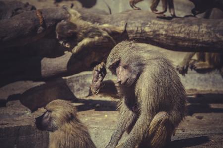 baboon: Baboon (Papio hamadryas ursinus)
