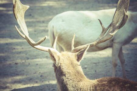 rocky mountain bighorn sheep: Deer with horns