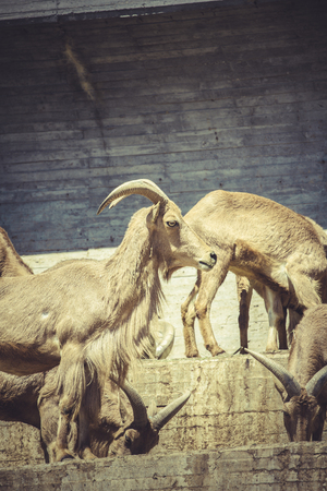 rocky mountain bighorn sheep: Spanish ibex