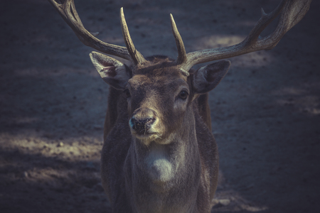 ibex ram: Deer with horns