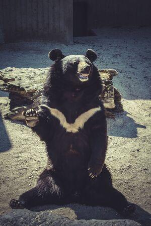 black bear: Black bear