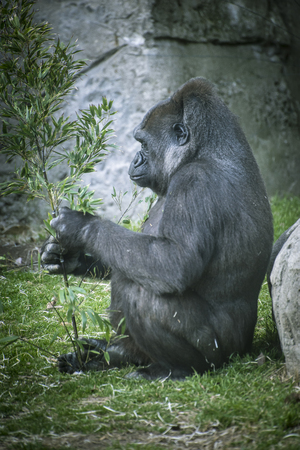 gorillas: Primate, huge and powerful gorilla, natural environment Stock Photo
