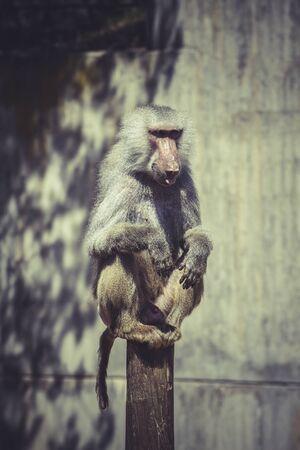 baboon: Baboon (Papio hamadryas ursinus), male
