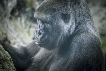 gorillas: Mother, huge and powerful gorilla, natural environment Stock Photo