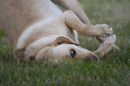 brown labrador: A Brown labrador playing in a grass field Stock Photo