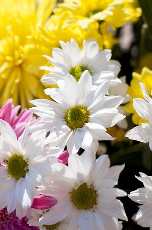 flowers and daisies with large petals and vivid colors, spring image