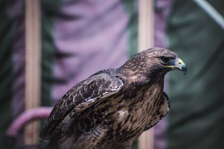chrysaetos: exhibition of birds of prey in a medieval fair, detail of beautiful imperial eagle in Spain Stock Photo