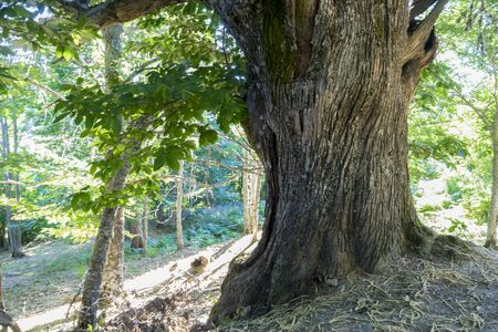 old and ancient chestnut forest in the province of Zamora, Spain. Trees over 500 years Stock Photo