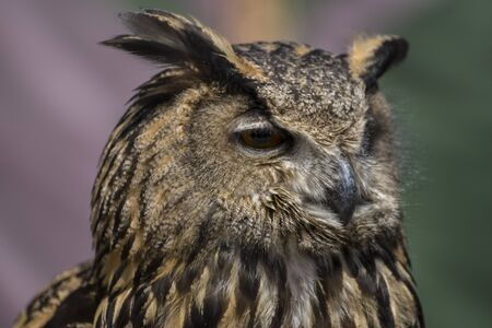 Wildlife, Beautiful owl with plumage of earthy colors, has an intense and beautiful look