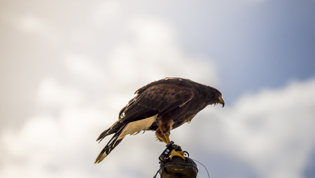 falcon climbed to the tip of a belfry in spain, is ready to jump to fly and hunt its prey