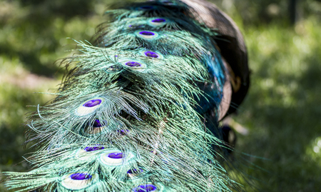 Elegant majestic beautiful peacock with colorful feathers Stock Photo