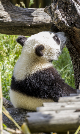 beautiful panda bear playing on flowers and branches of trees in a zoo Stock Photo