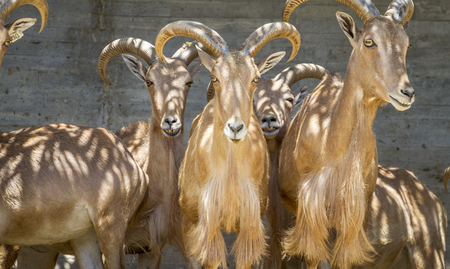 Ibex, group of mountain goats, Family mammals with large horns