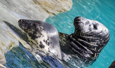 Swimming, seal resting in the sun in the water Stock Photo
