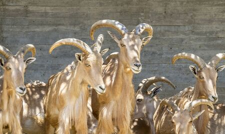 group of mountain goats, Family mammals with large horns Stock Photo