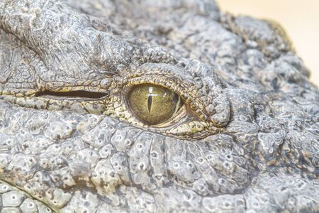 Alligator or crocodile animals eyes closeup