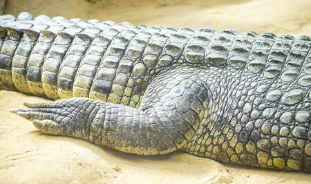 An alligator is a crocodilian in the genus Alligator of the family Alligatoridae,  close up texture of alligator skin Stock Photo