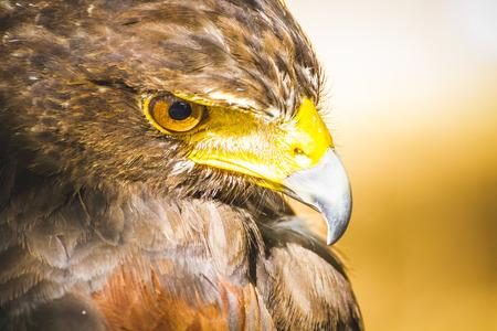 águila de águila americana Foto de archivo
