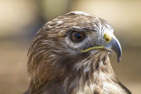eagle, diurnal bird of prey with beautiful plumage and yellow beak