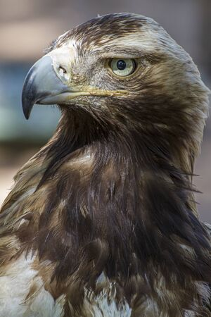 Golden eagle looking around. A majestic golden eagle takes in its surroundings from its spot amongst vegetation