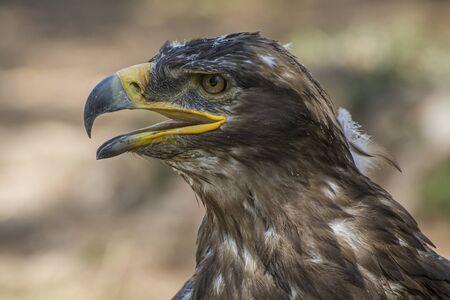 freedom eagle, diurnal bird of prey with beautiful plumage and yellow beak