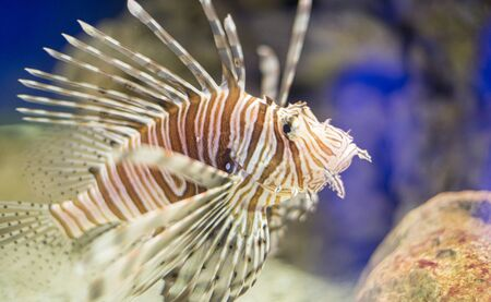 Venomous, Pterois antennata, lionfish in the interior of the sea next to a coral reef, dangerous fish