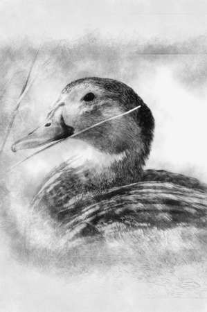Image of a duck in river. Wild life from Spain black and white drawing Standard-Bild