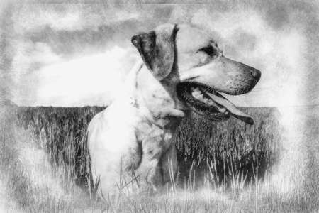 Labrador retriever in wheat field, and summer freedom black and white drawing
