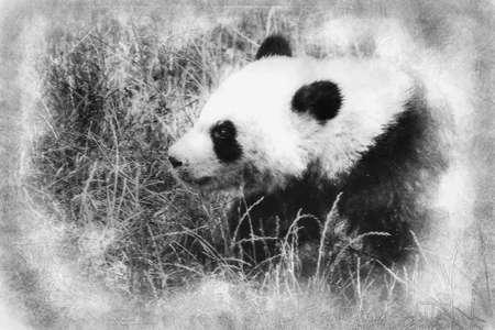 Beautiful breeding panda bear playing in a tree black and white drawing