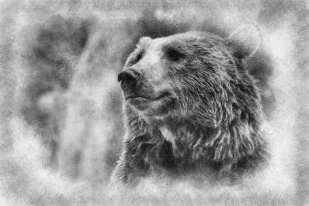 wild Predator, beautiful and furry brown bear, mammal black and white drawing