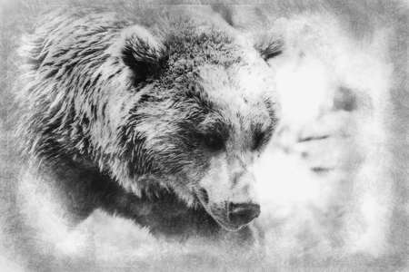 Predator, beautiful and furry brown bear, mammal black and white drawing