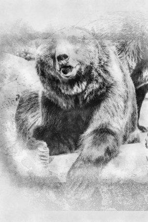 killer, Spanish powerful brown bear, huge and strong wild animal black and white drawing Standard-Bild