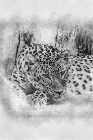 beautiful and powerful leopard resting in the sun black and white drawing Standard-Bild