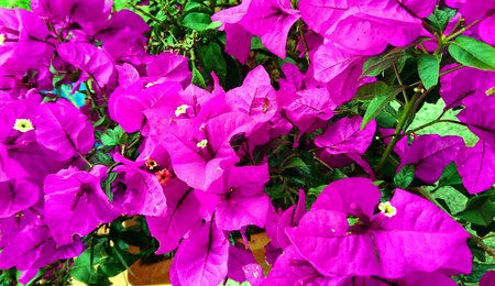 Blooming purple bougainvillea Stok Fotoğraf