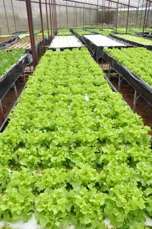 hydrophonic vegetable  photo