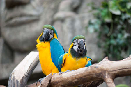 Pair of big parrot Macaw sitting on the branch. Wildlife and rainforest exotic tropical birds.