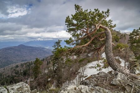 lone pine: Republic of Adygea. Lago-Naki plateau. A lone pine growing on the edge of a cliff