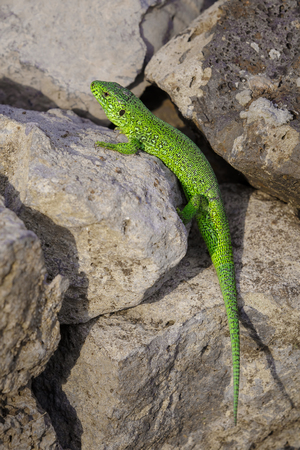 lacerate: Little green lizard is basking on the stones