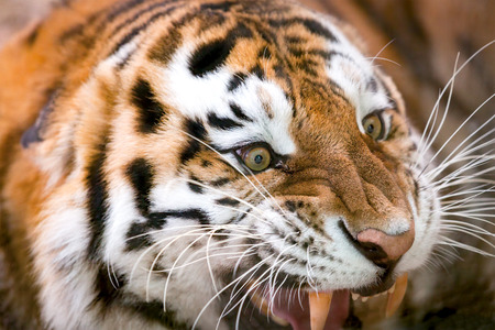 aggressively: Young tiger (Panthera tigris altaica) growls aggressively