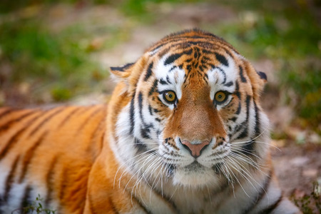 aggressively: Young tiger (Panthera tigris altaica) is aggressively looking at the camera