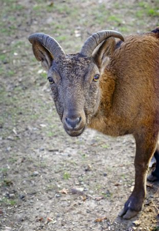 Capra caucasica is walking on the grassland Stock Photo